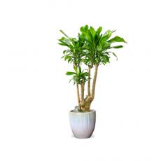관엽식물-괴목-100