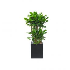 관엽식물-황금죽-104