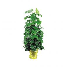 관엽식물-몬스테리-2
