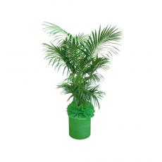 관엽식물-켄쟈야자-21