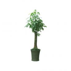 관엽식물-파키라-26