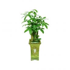 관엽식물-파키라-27
