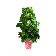 관엽식물-몬스테라-3