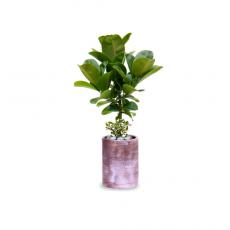 관엽식물-소엽고무나무-45