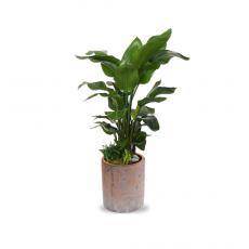 관엽식물-극락조-49