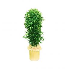 관엽식물-홍콩야자-5