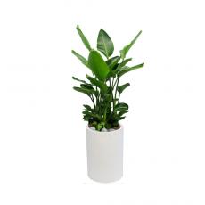 관엽식물-극락조-51