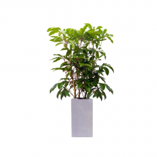 관엽식물-대엽홍콩-61