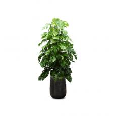 관엽식물-몬스테라-62
