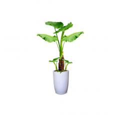 관엽식물-알로카시아-75