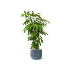 관엽식물-청목-82
