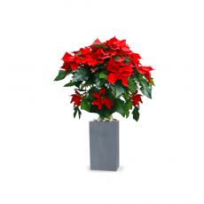 관엽식물-포인세티아-88(겨울한정)