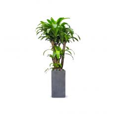 관엽식물-칼라행운목-94