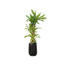 관엽식물-행운목-96