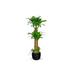 관엽식물-행운목-98